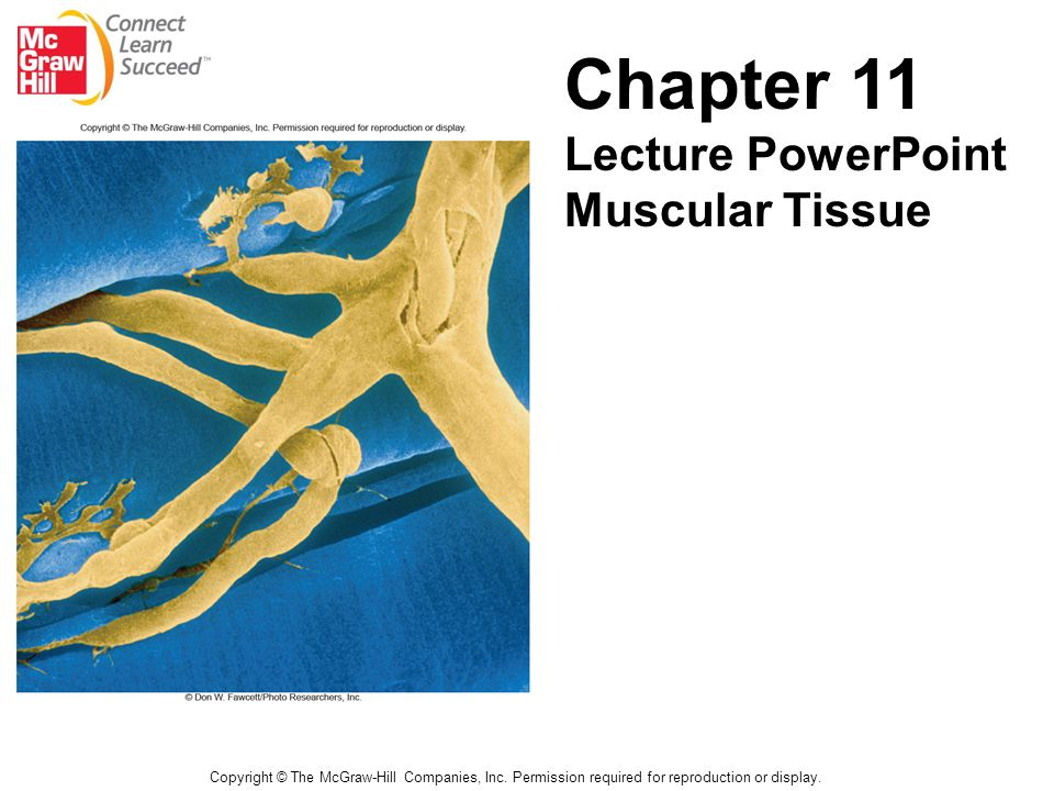 Chapter 11 Lecture PowerPoint Muscular Tissue