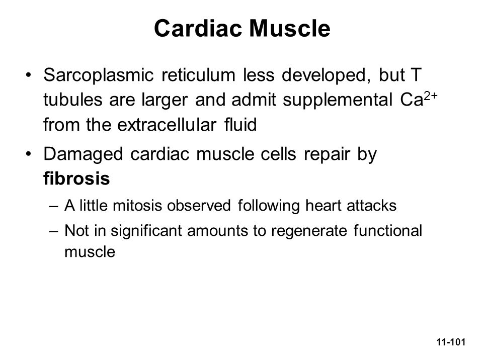 Cardiac Muscle Sarcoplasmic reticulum less developed, but T tubules are larger and admit supplemental Ca2+ from the extracellular fluid.