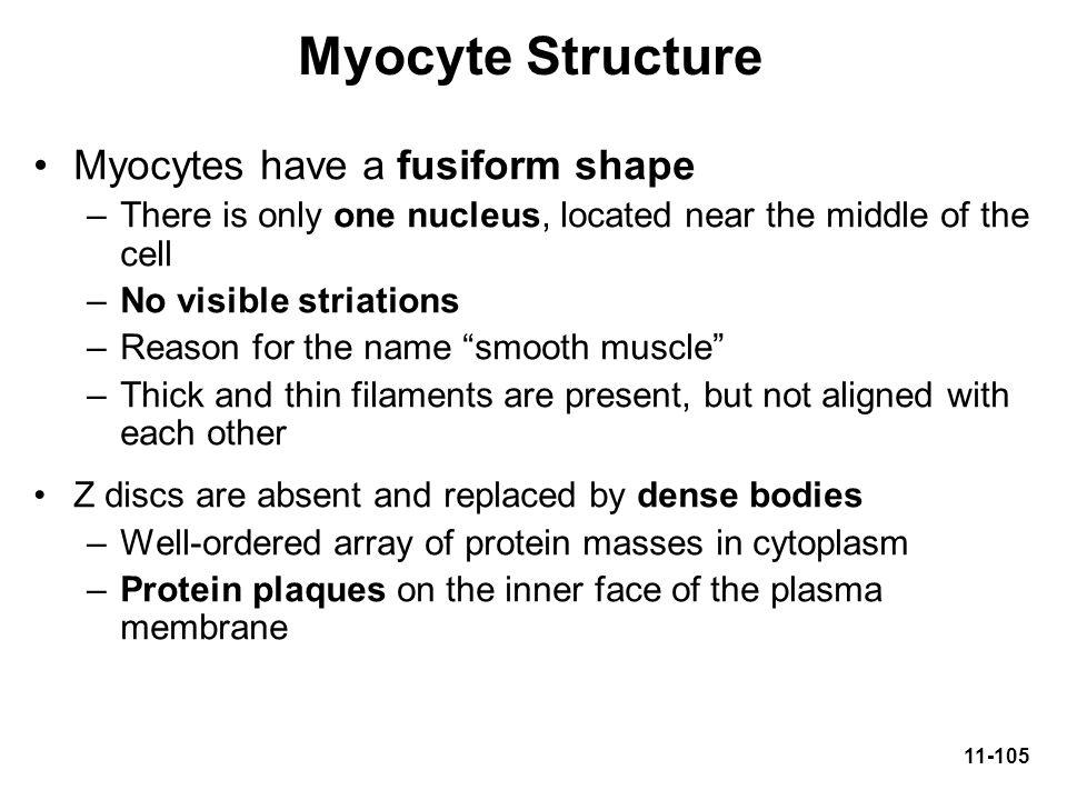 Myocyte Structure Myocytes have a fusiform shape