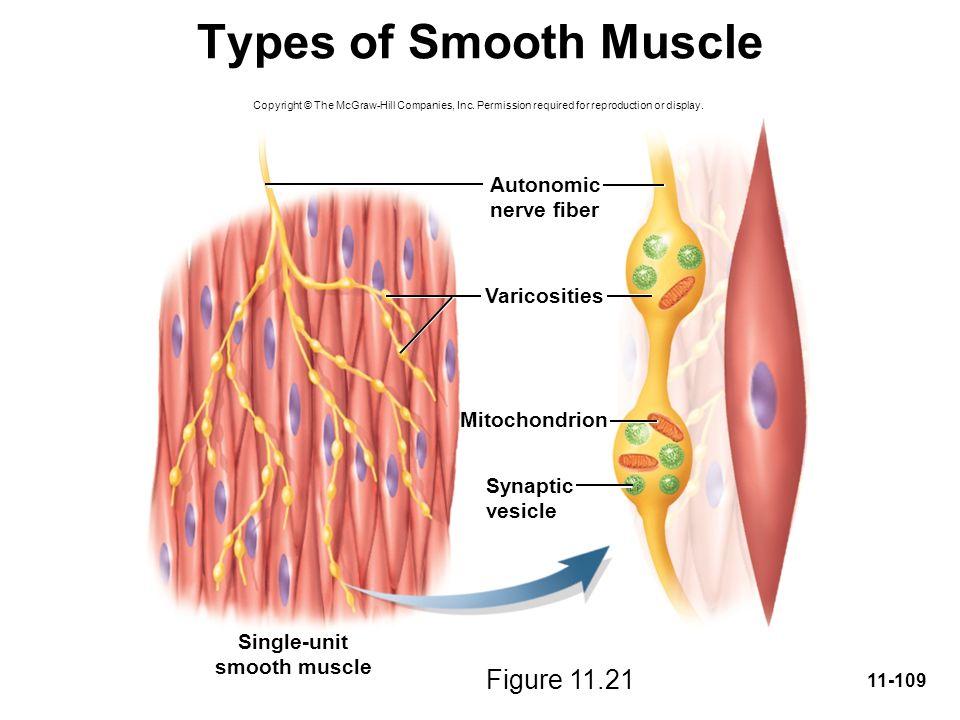 Types of Smooth Muscle Figure 11.21 Autonomic nerve fiber Varicosities