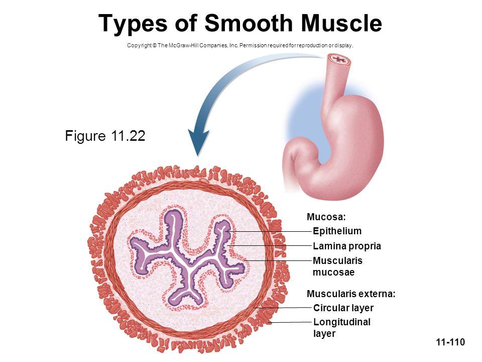 Types of Smooth Muscle Figure 11.22 Mucosa: Epithelium Lamina propria
