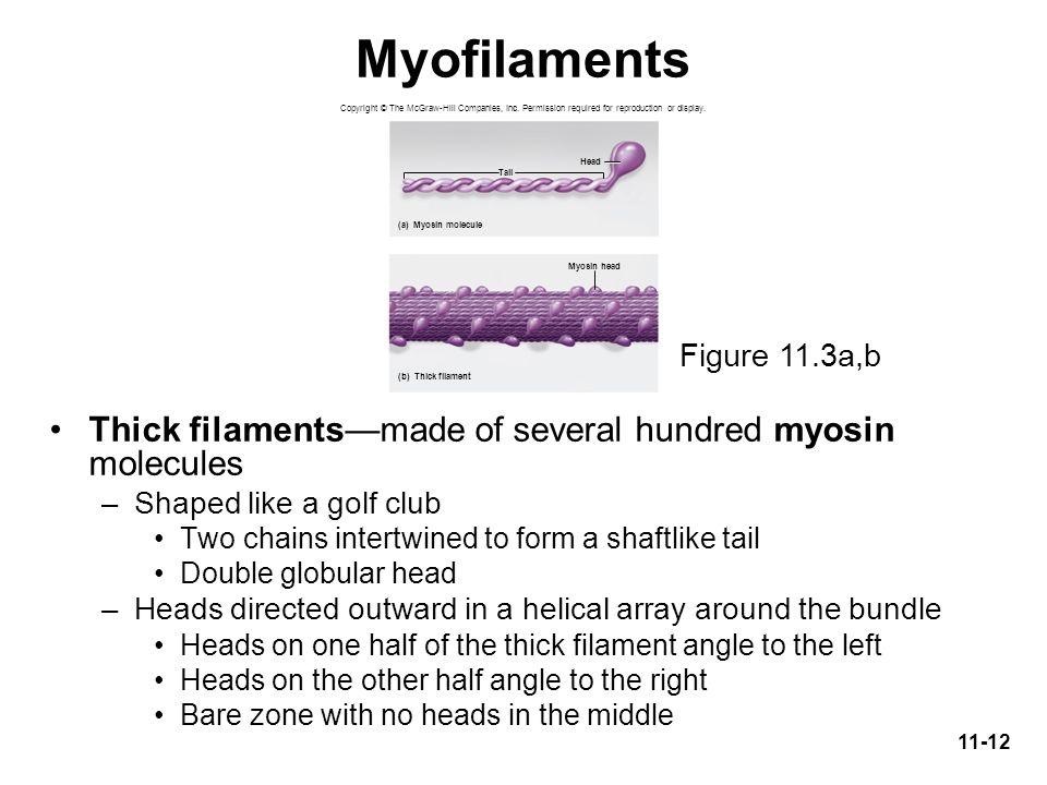 Myofilaments Thick filaments—made of several hundred myosin molecules