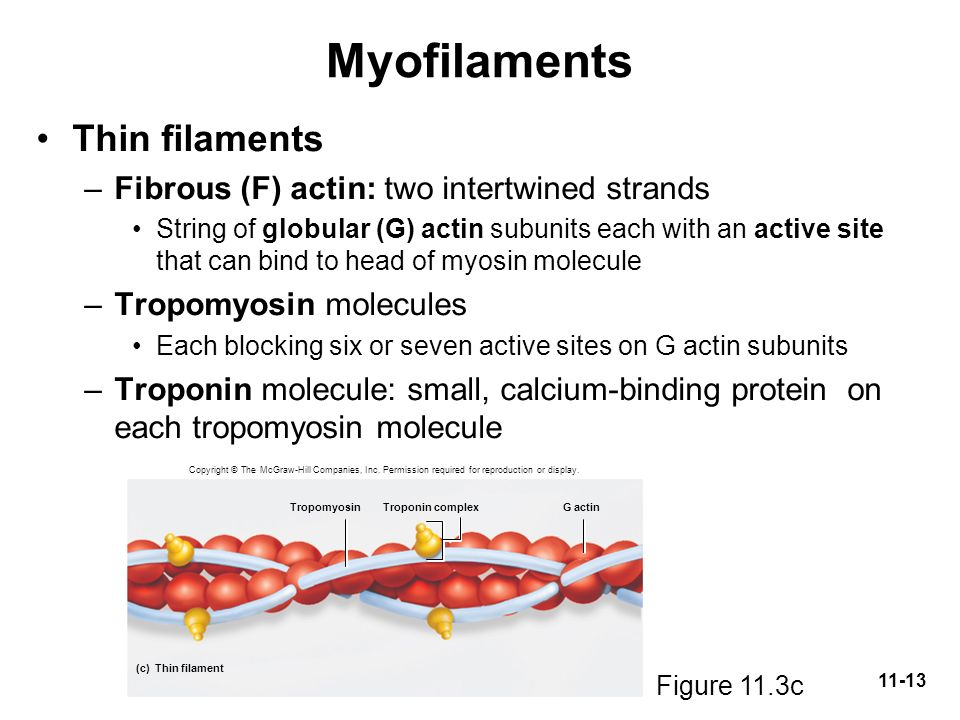 Myofilaments Thin filaments Fibrous (F) actin: two intertwined strands