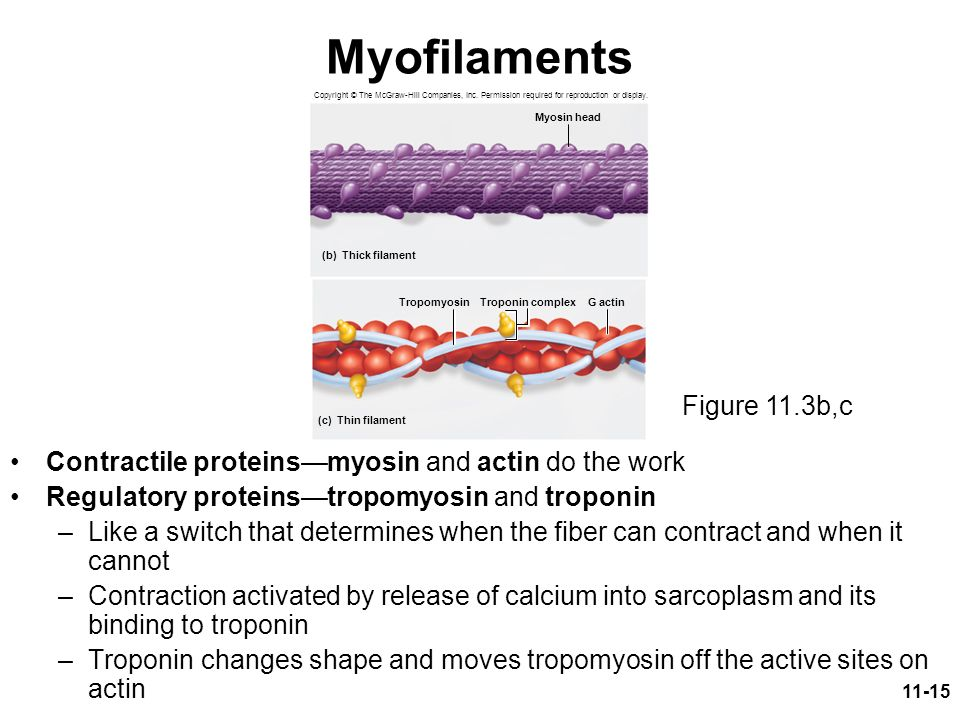 Myofilaments Figure 11.3b,c
