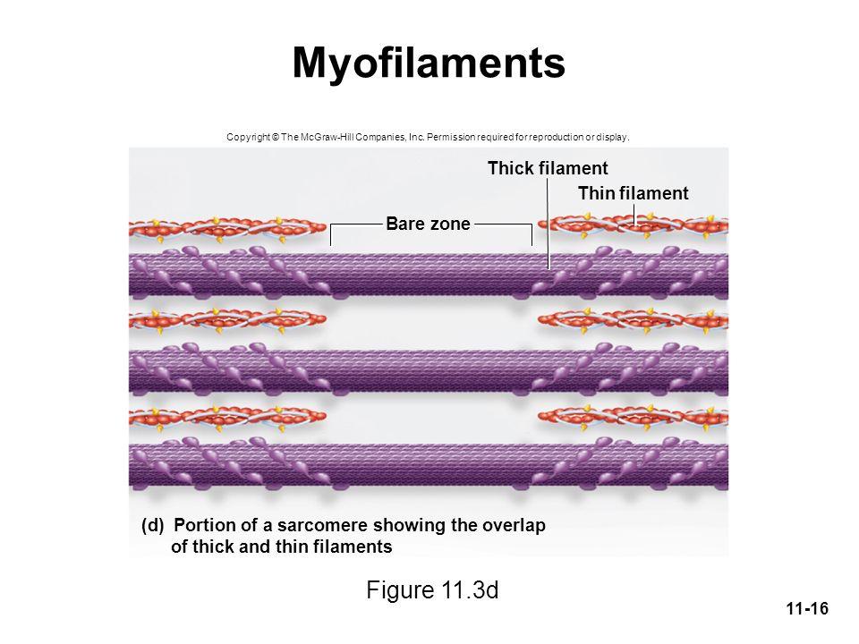 Myofilaments Figure 11.3d Thick filament Thin filament Bare zone