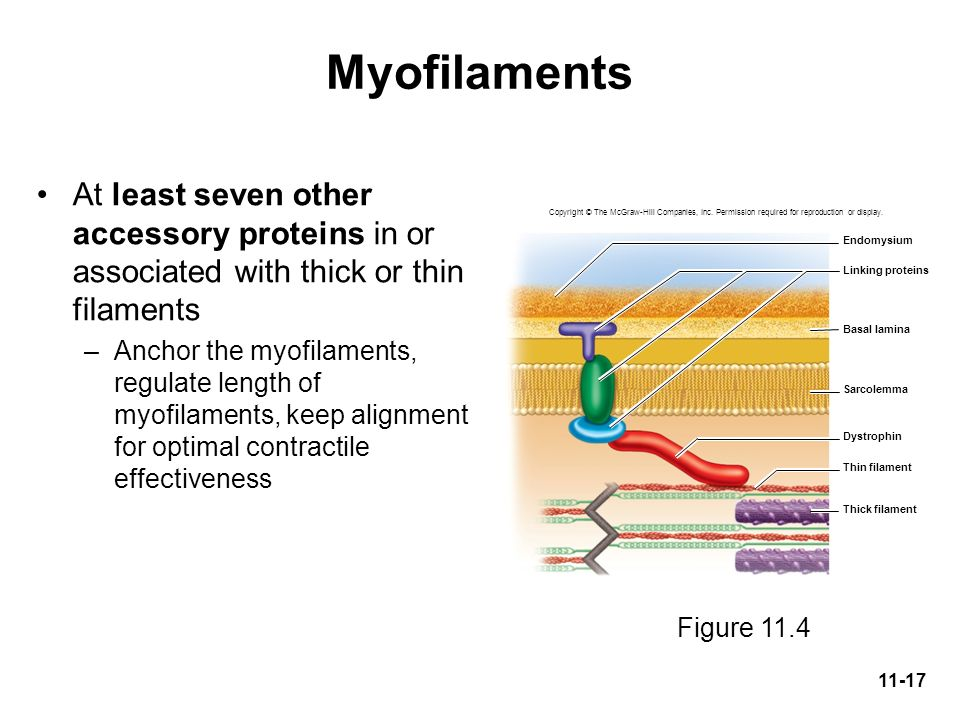 Myofilaments At least seven other accessory proteins in or associated with thick or thin filaments.
