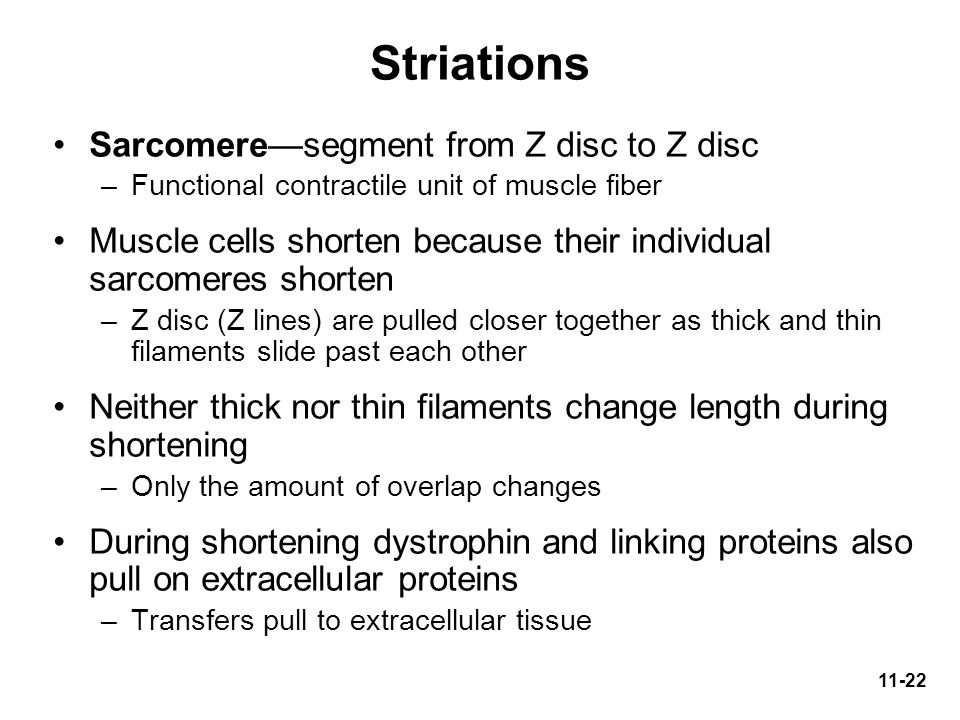 Striations Sarcomere—segment from Z disc to Z disc