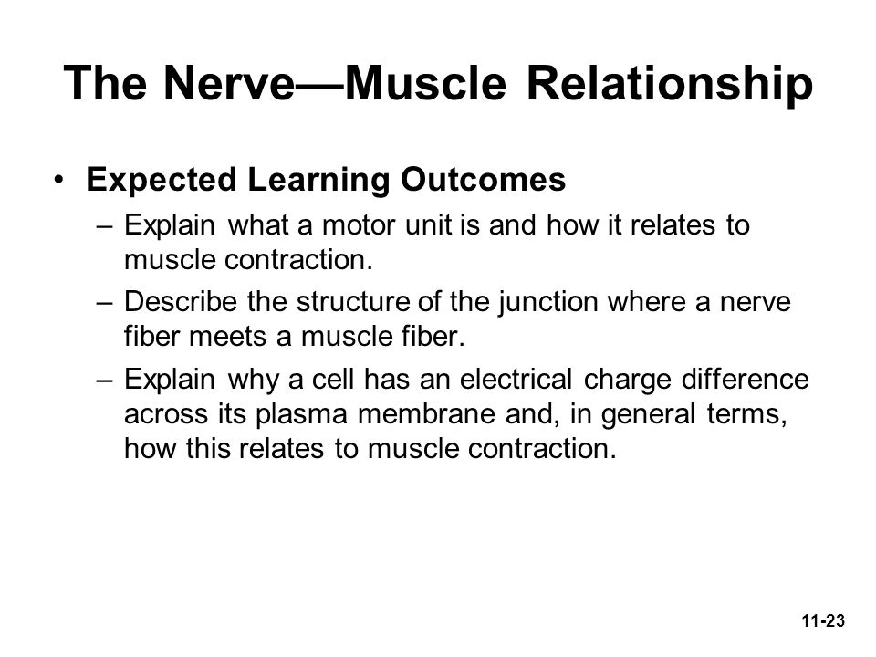 The Nerve—Muscle Relationship