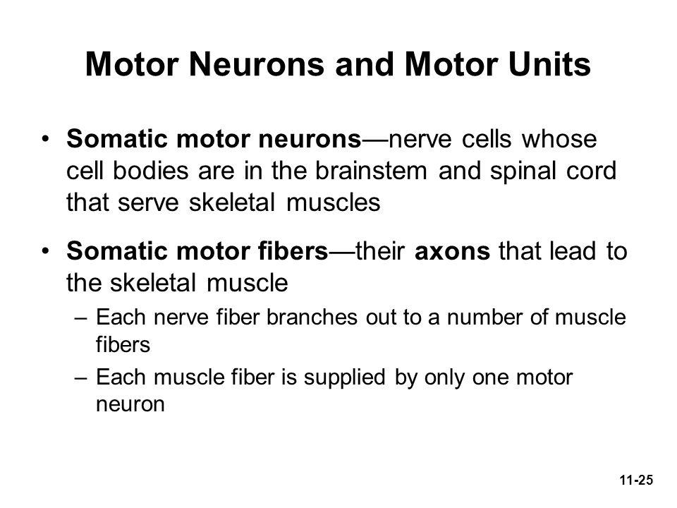 Motor Neurons and Motor Units