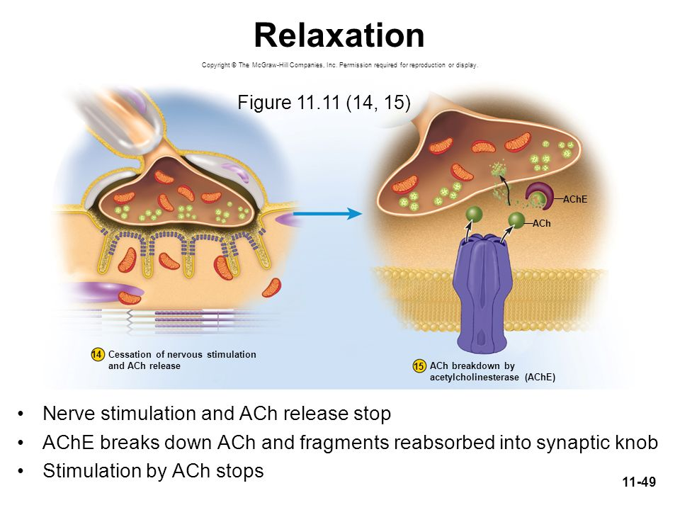 Relaxation Nerve stimulation and ACh release stop