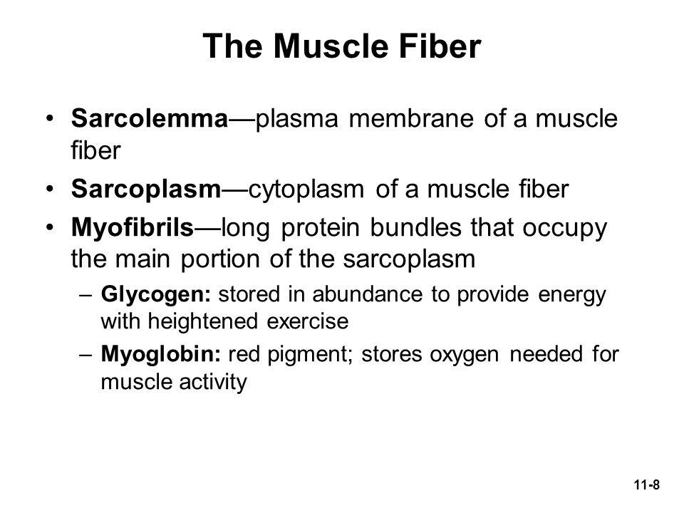 The Muscle Fiber Sarcolemma—plasma membrane of a muscle fiber