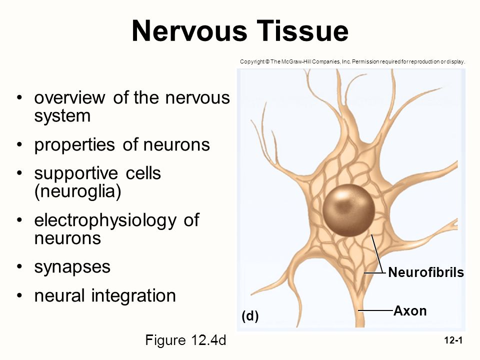 what is nervous tissue Nervous tissue consists of two kinds of nerve cells:.