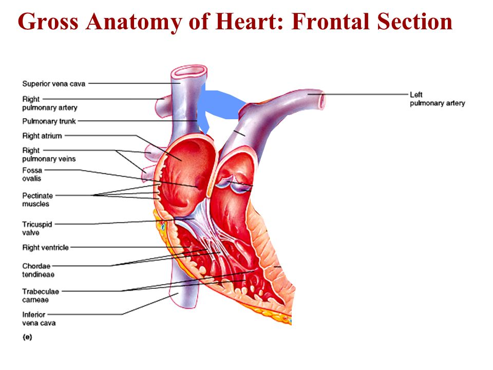 The Cardiovascular System The Heart Ppt Video Online Download