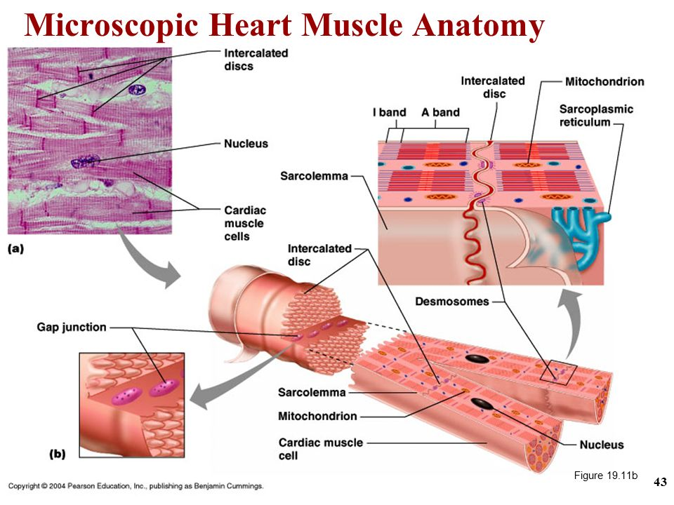 heart and cardiac muscle Related wordssynonymslegend: switch to new thesaurus noun 1 heart muscle - the muscle tissue of the heart adapted to continued rhythmic contraction cardiac muscle.