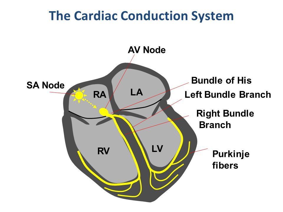 ELECTRICAL PROPERTIES OF THE HEART - ppt video online download
