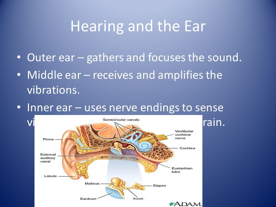 Hearing and the Ear Outer ear – gathers and focuses the sound.