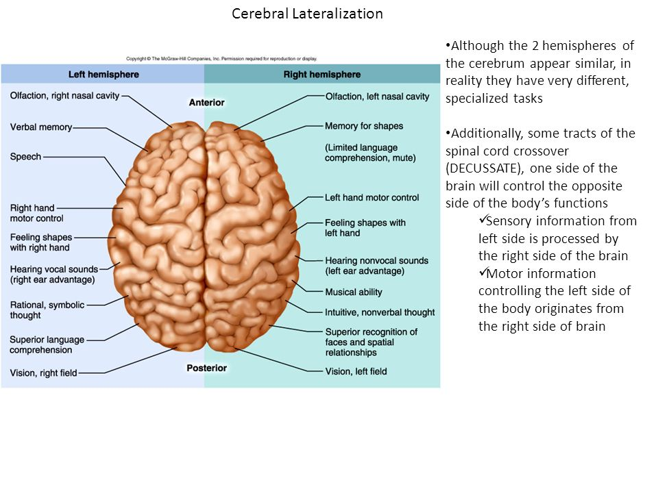 cerebral lateralization and function Key words: auditory laterality, chimpanzee behaviour, functional asymmetry,  lateralization,  cerebral lateralization is a feature represented only by man.