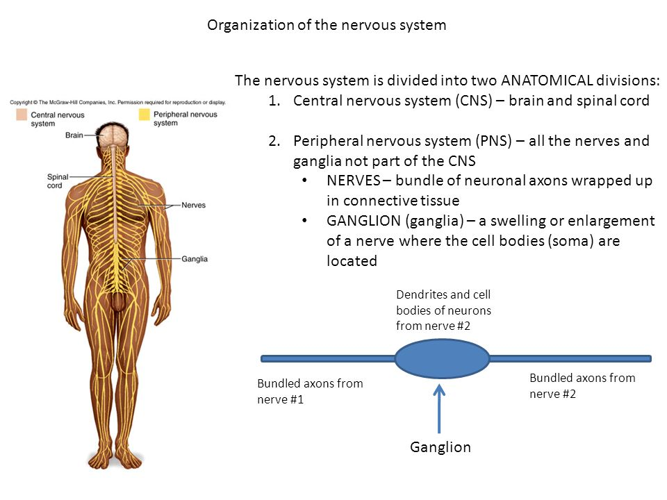 Anatomy of the central nervous system