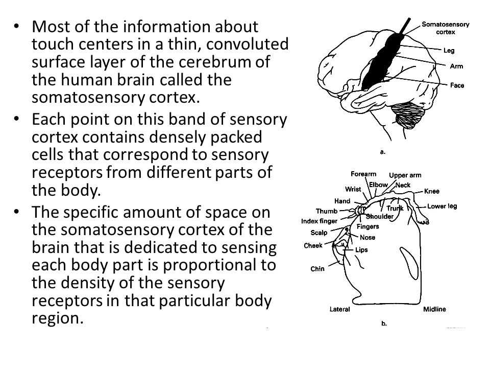 an overview of the different parts of the human brain The human body is divided into many different parts called organs all of the parts are controlled by an organ called the brain, which is located in the head the brain weighs about 2 75 pounds, and has a whitish-pink appearance the brain is made up of many cells, and is the control centre of the.