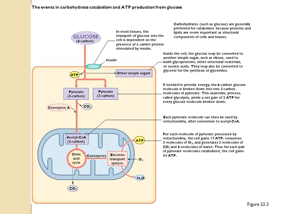 The events in carbohydrate catabolism and ATP production from glucose