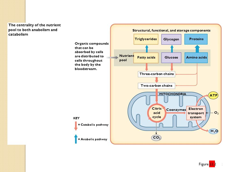 The centrality of the nutrient pool to both anabolism and catabolism