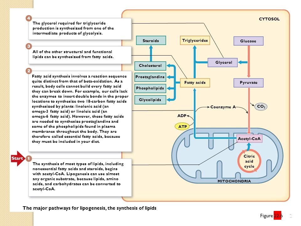 The major pathways for lipogenesis, the synthesis of lipids