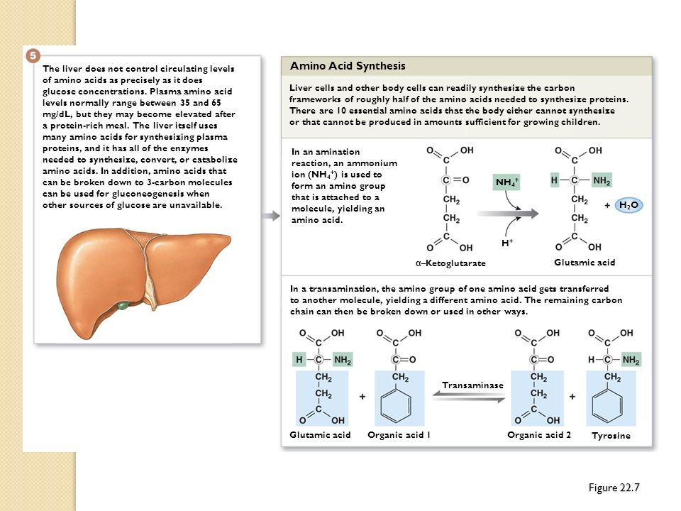 The liver does not control circulating levels