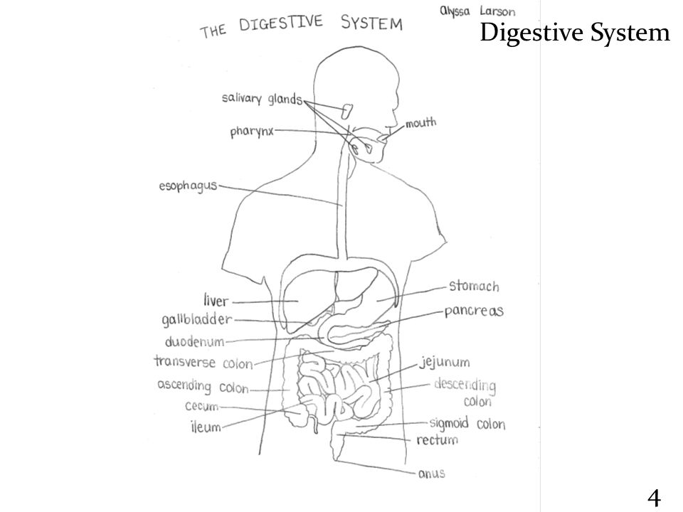 the digestive process of food in the alimentary canal and accessory digestive organs in the digestiv Peristalsis creates propulsion: how food moves through the alimentary canal   these accessory organs of digestion play key roles in the digestive process   secretes or stores substances that pass through ducts into the alimentary canal.