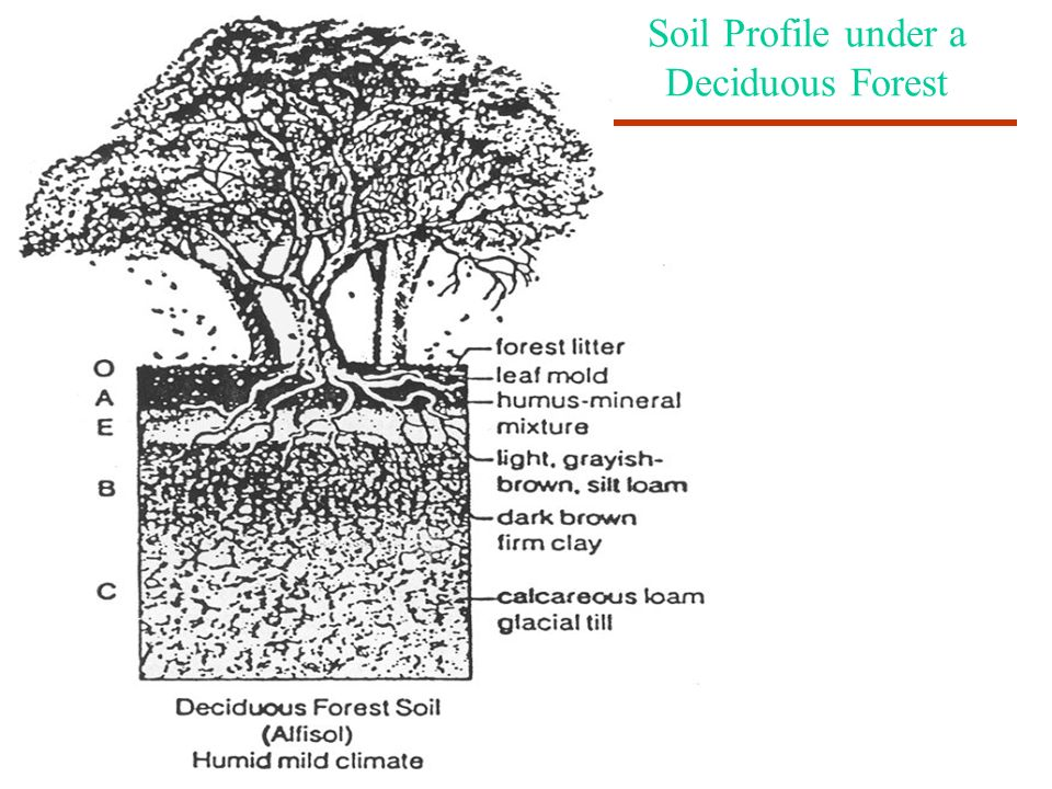 Soil Profile under a Deciduous Forest