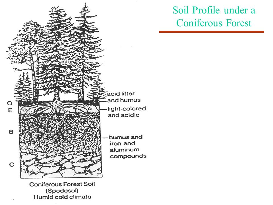 Soil Profile under a Coniferous Forest