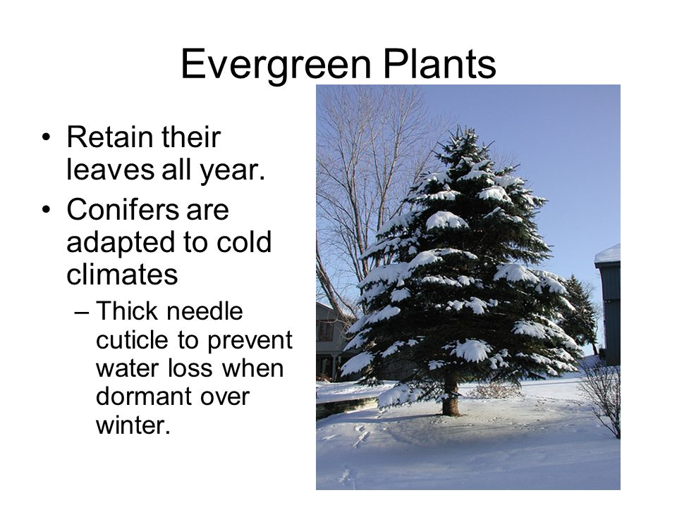 Evergreen Plants Retain their leaves all year.