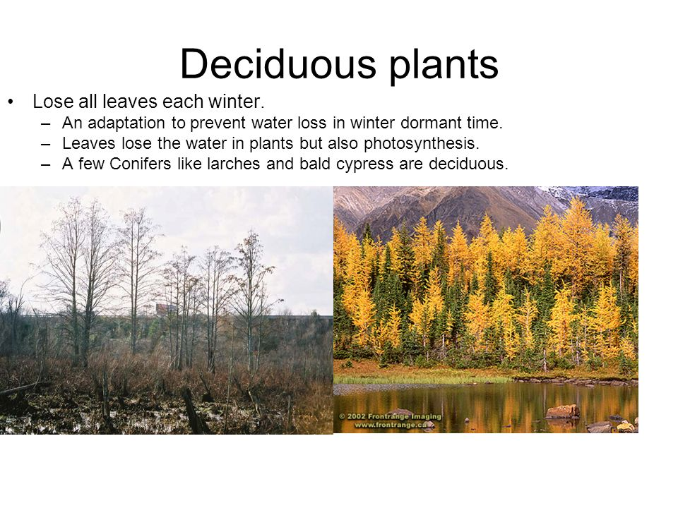 Deciduous plants Lose all leaves each winter.