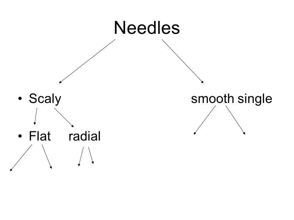 Needles Scaly smooth single Flat radial