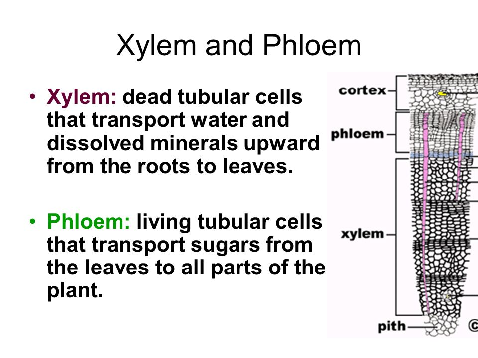 Xylem and Phloem Xylem: dead tubular cells that transport water and dissolved minerals upward from the roots to leaves.