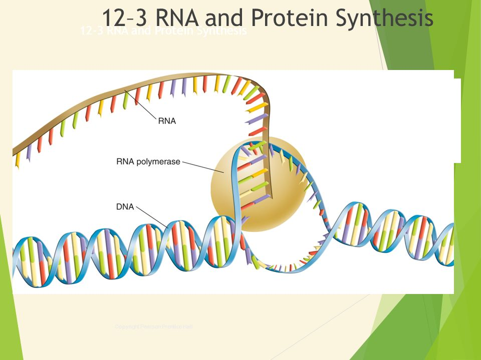 Section 12 3 Rna And Protein Synthesis Worksheet Answers : Biology Copyright Pearson Prentice Hall  Ppt Download With   Rna And Protein Synthesis From Slideplayer.com Photos