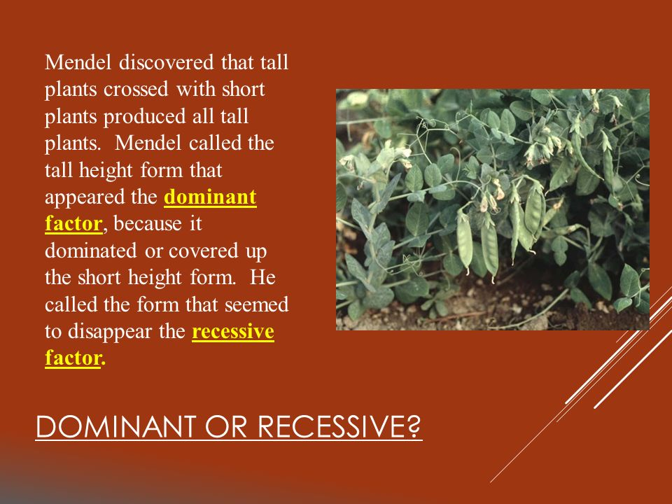 Mendel discovered that tall plants crossed with short plants produced all tall plants. Mendel called the tall height form that appeared the dominant factor, because it dominated or covered up the short height form. He called the form that seemed to disappear the recessive factor.