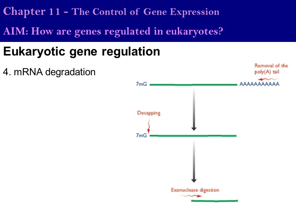 how genes are control Flymove maternal control of segmentation zygotic control of segmentation homeotic genes control segment identification drosophila and human development are homologous processes.