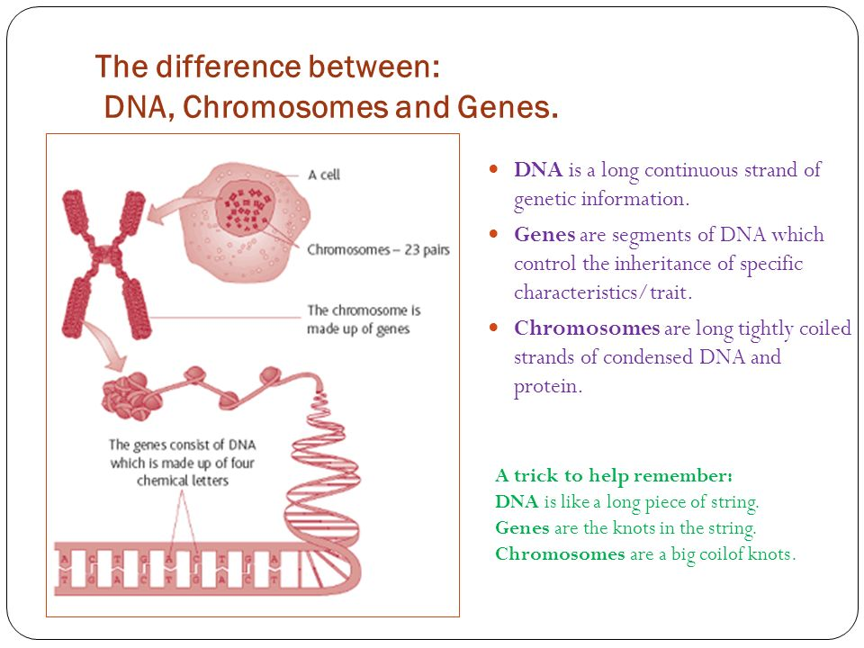 4 what is the relationship between genes and chromosomes