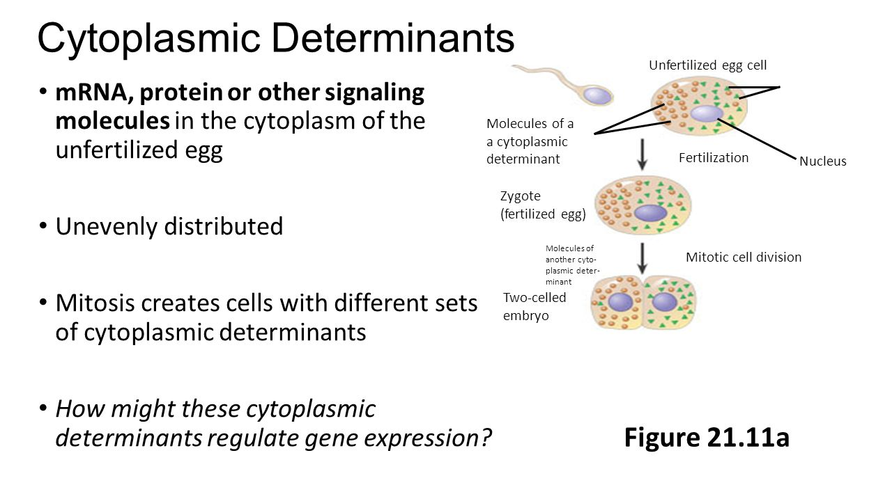 Cytoplasmic Determinants