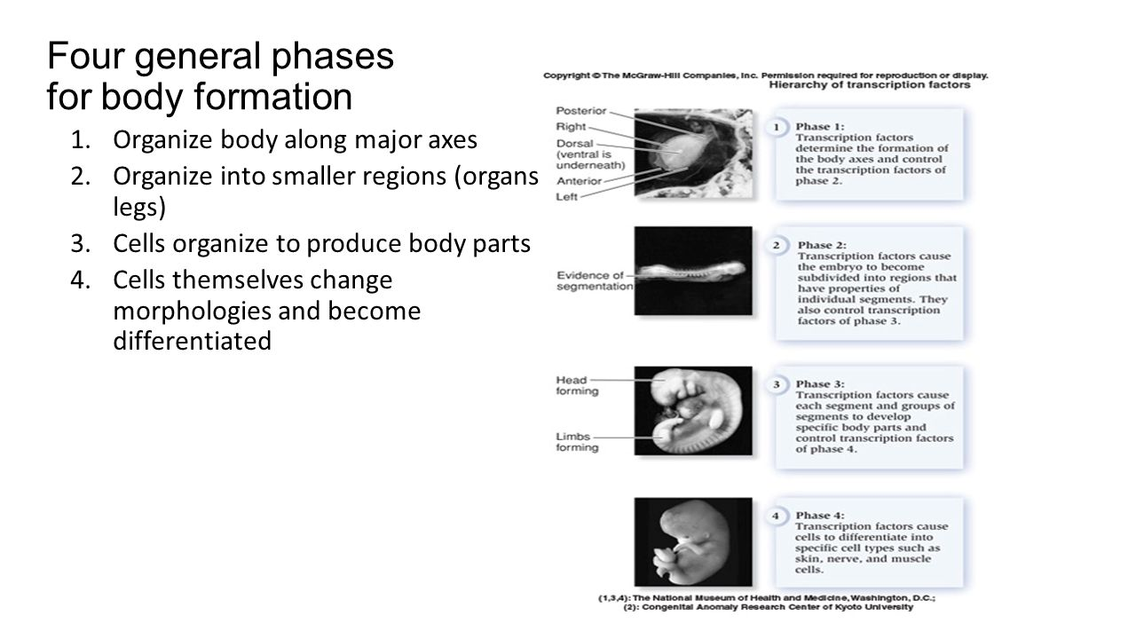 Four general phases for body formation