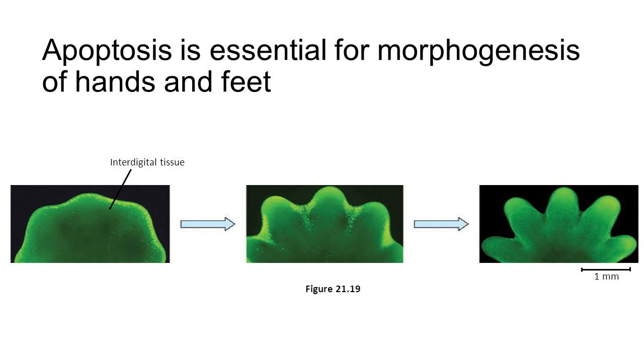 Apoptosis is essential for morphogenesis of hands and feet