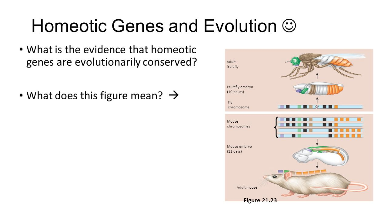 Homeotic Genes and Evolution 
