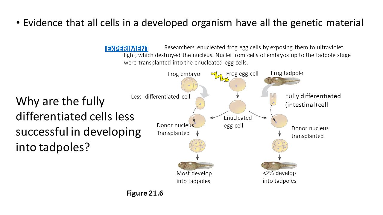 Evidence that all cells in a developed organism have all the genetic material