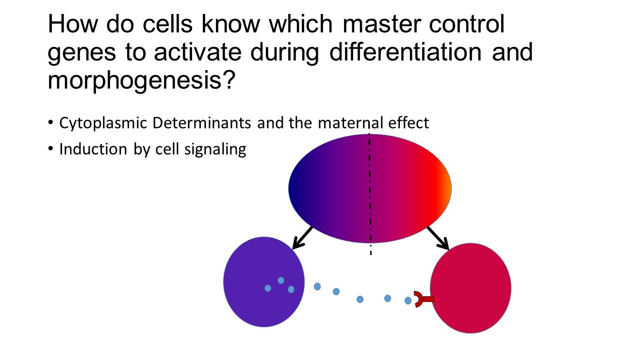 How do cells know which master control genes to activate during differentiation and morphogenesis