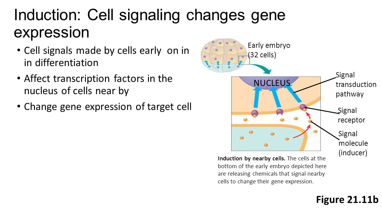 Induction: Cell signaling changes gene expression