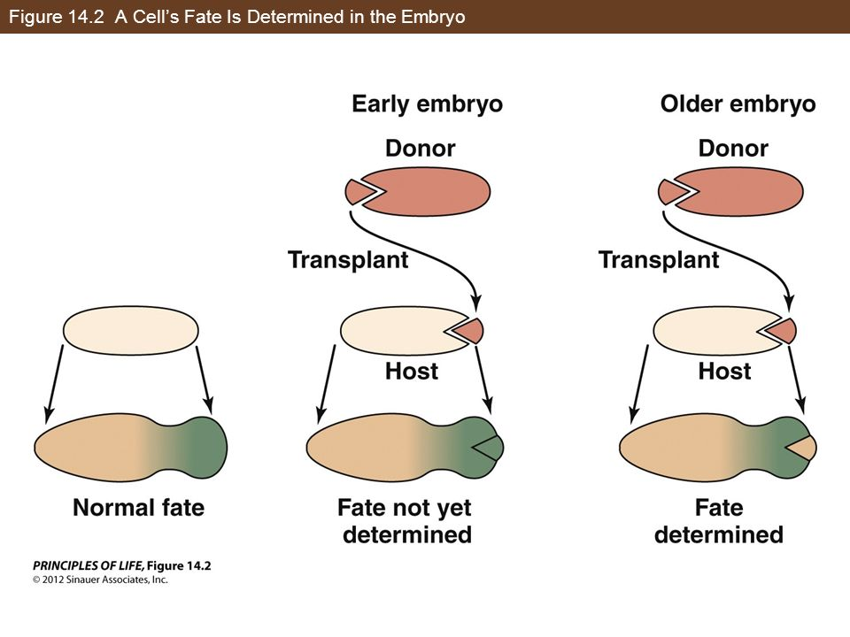 Figure 14.2 A Cell's Fate Is Determined in the Embryo