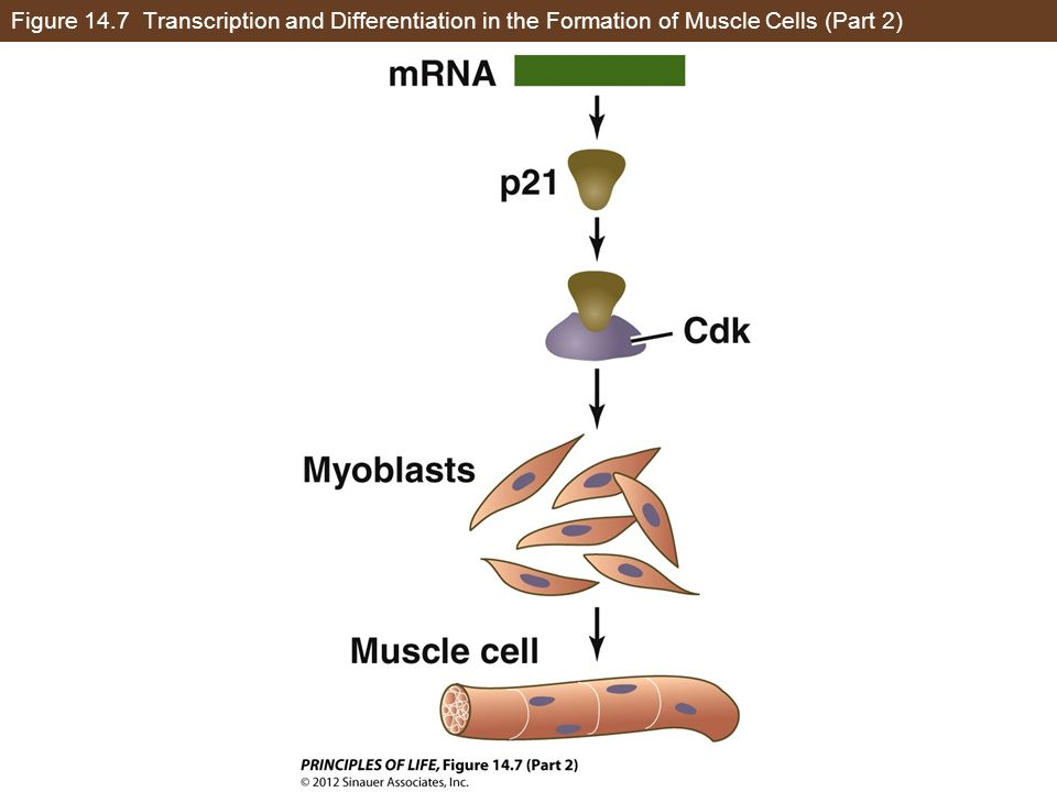 Figure 14.7 Transcription and Differentiation in the Formation of Muscle Cells (Part 2)