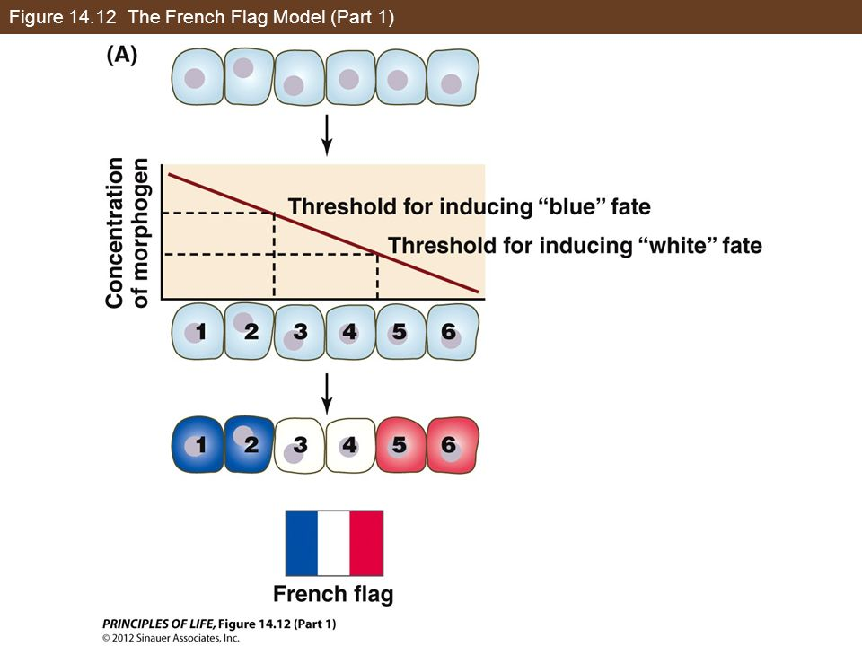 Figure The French Flag Model (Part 1)