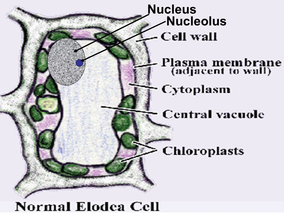 diagram of parts of toilet cell microscope investigation - ppt video online download
