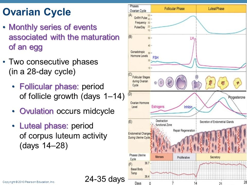 the ovarian cycle The ovarian cycle is also responsible for what we commonly know as the menstrual cycle basically, the primary oocytes that are destined to be ovulated will develop.